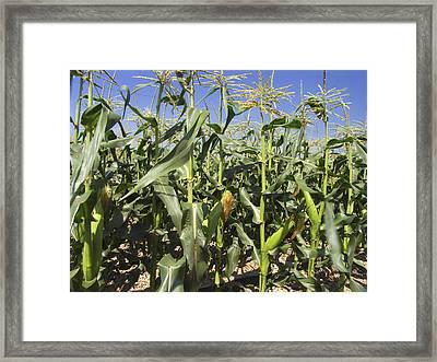 Maize (zea Mays) Framed Print by Bjorn Svensson