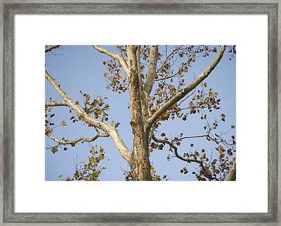 Majestic Birch Framed Print