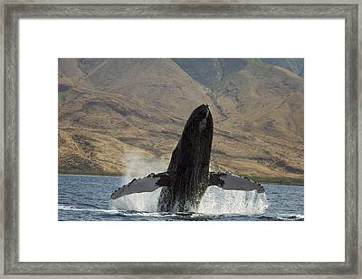 Majestic Breaching Whale Framed Print by Dave Fleetham
