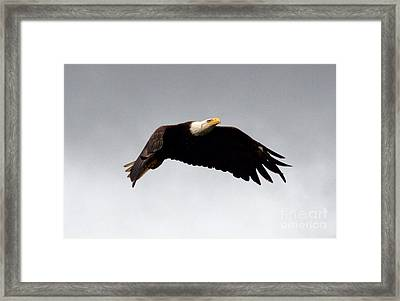Framed Print featuring the photograph Majestic Flight by Polly Peacock