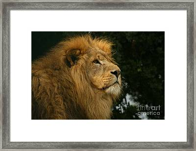 Majestic Lion Framed Print by Carol Wright