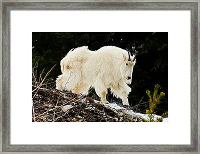 Majestic Mountain Goat Le Framed Print by Greg Norrell