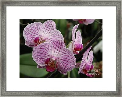 Majestic Orchids Framed Print by Carol Groenen
