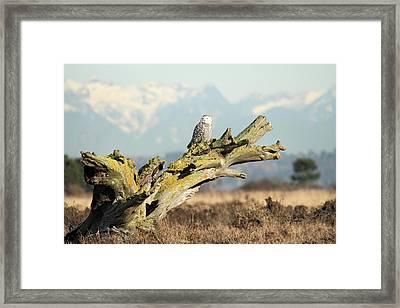 Majestic Snowy Owls Framed Print