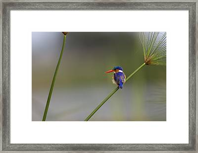 Malachite Kingfisher On A Grass Stem Framed Print by Roy Toft