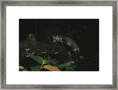 Malay Civet Or Tangalung Climbing Framed Print by Tim Laman