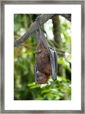 Malayan Flying Fox Framed Print by Tony Camacho