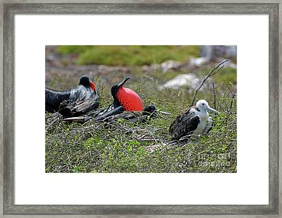 Male And Juvenile Great Frigate Bird Framed Print by Sami Sarkis
