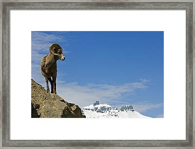 Male Bighorn Sheep On A Mountainside Framed Print by Mike Grandmailson