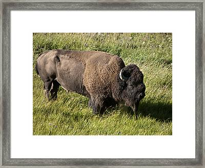 Male Bison Grazing  Framed Print by Paul Cannon