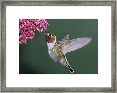 Male Broadtail Hummingbird Feeding On Nectar Of Coral Bells Framed Print by Russell Burden