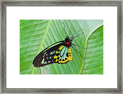 Male Cairns-birdwing Butterfly Framed Print by Chris Thaxter