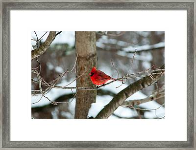 Male Cardinal In Winter Framed Print by Ron Smith