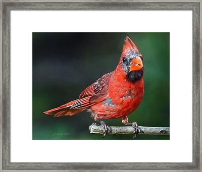Male Cardinal Framed Print by Joseph G Holland