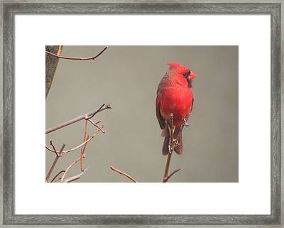 Framed Print featuring the photograph Male Cardinal On A Branch by Laurel Talabere