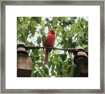 Male Cardinal One Framed Print by Todd Sherlock