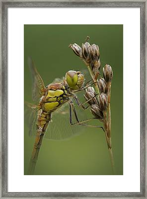 Male Common Darter Framed Print by Andy Astbury