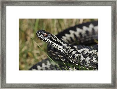 Male Common European Adder Framed Print by Colin Varndell