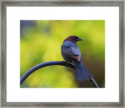 Male Cowbird - Back Profile Framed Print by Bill Tiepelman