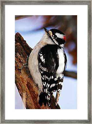Male Downy Woodpecker 2 Framed Print