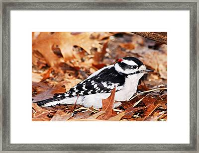Male Downy Woodpecker 4 Framed Print