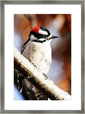 Male Downy Woodpecker 5 Framed Print