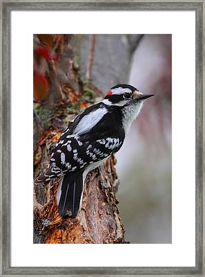 Male Downy Woodpecker Framed Print