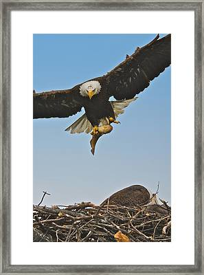 Male Eagle With Dinner Framed Print