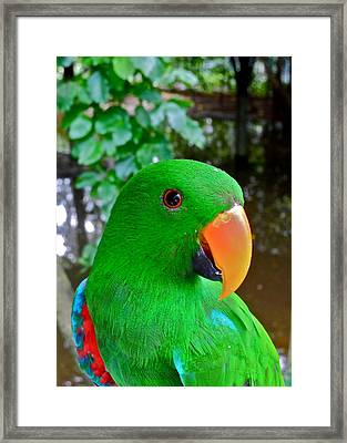 Male Eclectus Parrot II Framed Print