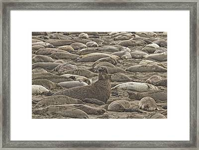 Male Elephant Seal Barking Amidst Framed Print by Robert Postma
