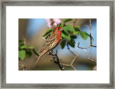 Male Finch Framed Print by Alan Hutchins