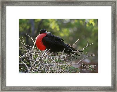 Framed Print featuring the photograph Male Frigate Bird - Galapagos by Craig Lovell