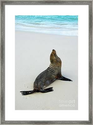 Male Galapagos Sea Lion Standing On Beach Framed Print by Sami Sarkis
