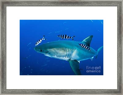 Male Great White Shark And Pilot Fish Framed Print by Todd Winner