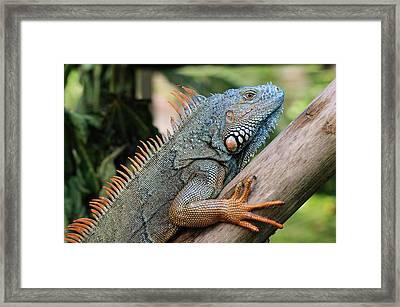 Male Green Iguana Framed Print by Tom Schwabel