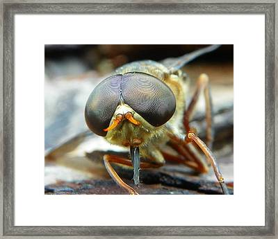 Framed Print featuring the photograph Male Horse Fly by Chad and Stacey Hall