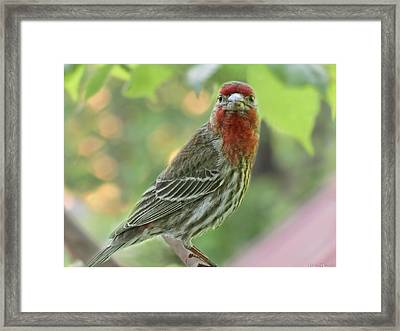 Framed Print featuring the photograph Male House Finch by Debbie Portwood