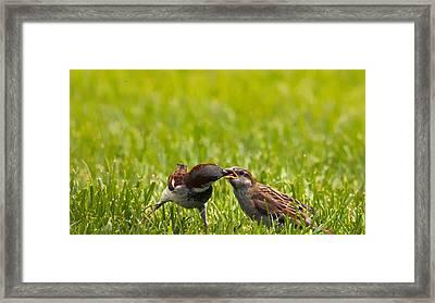 Male House Sparrow Feeding Female Framed Print by Bill Tiepelman