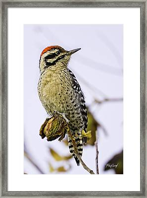 Male Ladder Back Woodpecker Eating Pecan Framed Print by Fred J Lord