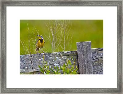 Male Lilian's Meadowlark Framed Print by Brenda Becker
