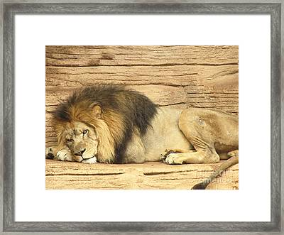 Male Lion Resting Framed Print