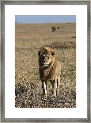Male Lion's Gaze Framed Print by Darcy Michaelchuk