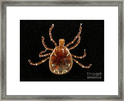 Male Lone Star Tick Framed Print by Science Source
