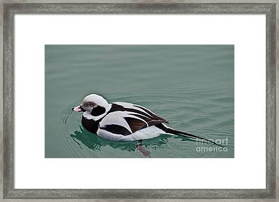 Male Long Tailed Duck In Winter Plumage Framed Print
