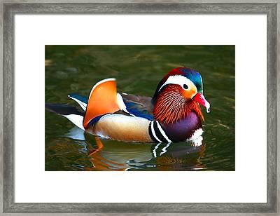 Male Mandarin Framed Print