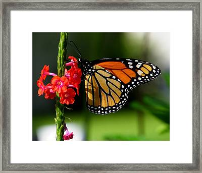 Male Monarch On Red Porterweed Framed Print by Judy Wanamaker