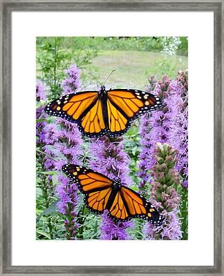 Male Monarchs Framed Print by Katie Bauer