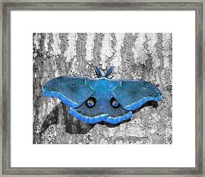 Male Moth Light Blue Framed Print