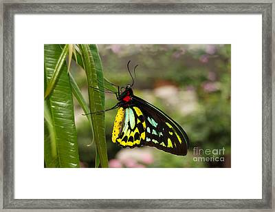 Framed Print featuring the photograph Male New Guinea Birdwing Butterfly by Eva Kaufman