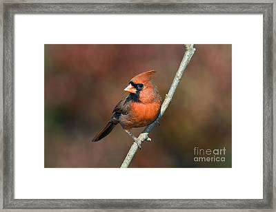 Male Northern Cardinal - D007813 Framed Print